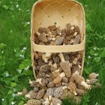 Basket of Morels